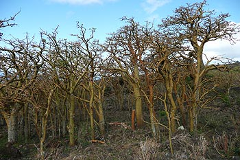 A grove of wiliwili trees, leafless under dry conditions