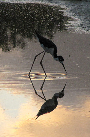 Hawaiian Stilt feeding in the evening