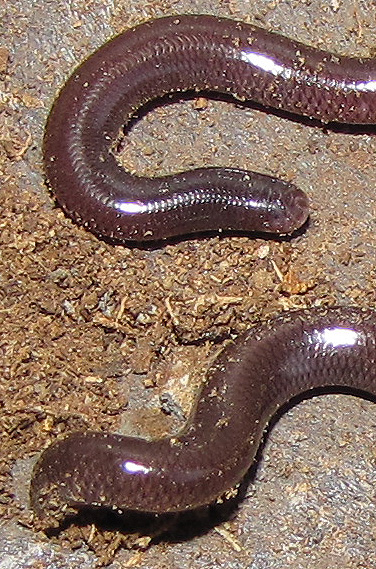 Head and tail of an island blind snake
