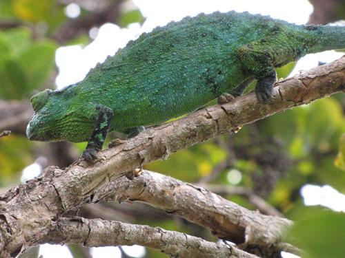 female_chameleon