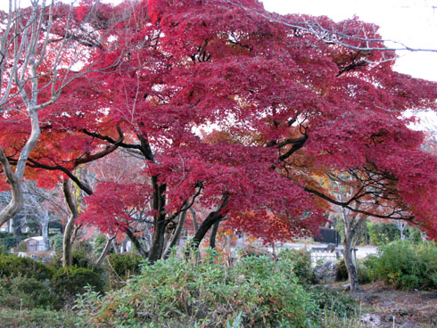 maple_tree_at_Kyoto_park