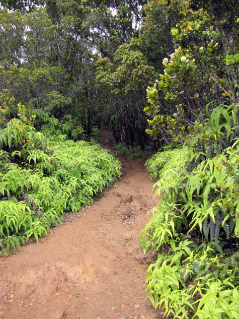 Uluhe_fern_and_ohia_pihea_trail