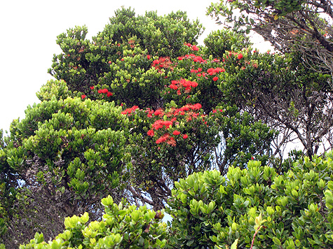 ohia_tree_in_bloom