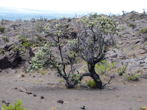 An ohia tree struggling to live among the tough conditions of the Ka`u Desert -- conditions that include varying levels of volcanic fumes.