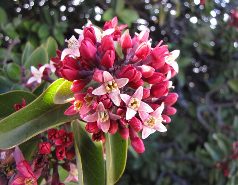 sandlewood flowers, Haleakala