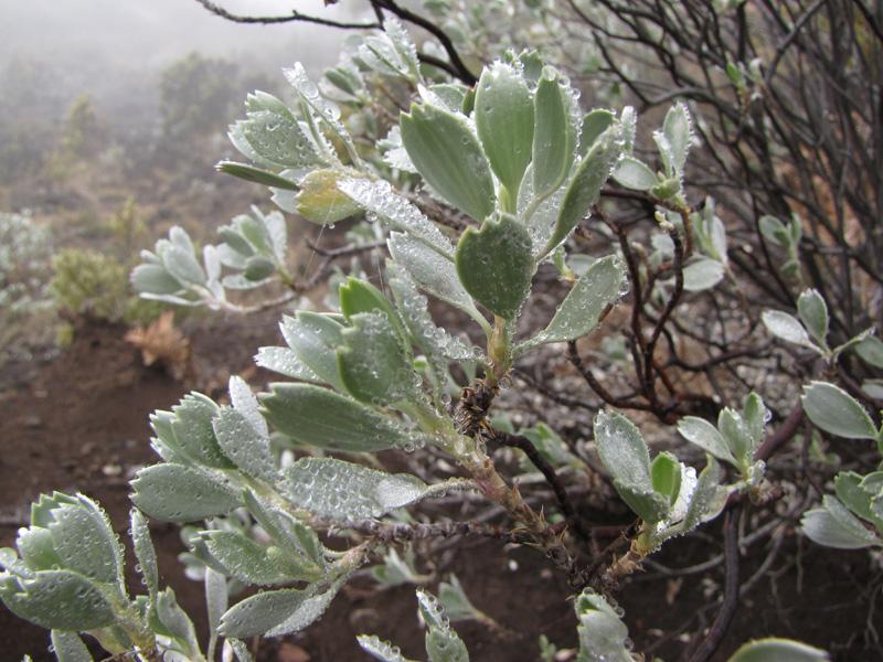 silver geranium, Haleakala
