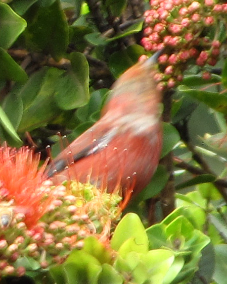 A photo blurred with motion, but still showing the 'apapane's coloration.